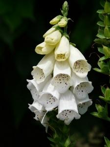 white-foxglove-8147_640