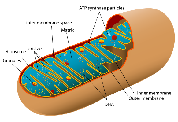the level of oxidative stress is elevated in diabetes, and diabetes often  induces mitochondrial dysfunctionmitochondrial dysfunction is the loss of